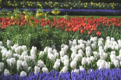 Keukenhof - rozkvetlé záhony